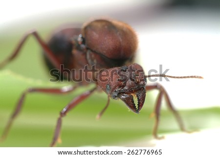 Queen Leaf Cutter Ant on green leaf. - stock photo