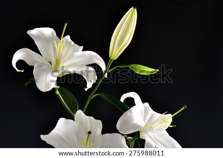Queen night snow white flower giant stock photo edit now shutterstock queen of the night snow white flower giant bud and pistil black background his mightylinksfo