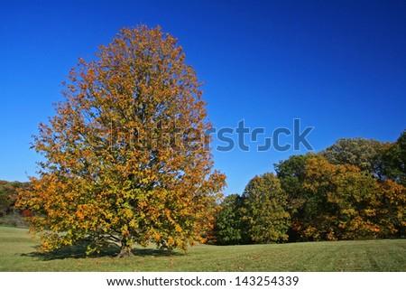 Queen yellow miyabe maple tree in peak autumn color at The Morton Arboretum, Lisle, Illinois. - stock photo