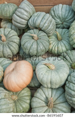 Queensland Blue Pumpkin. The buttercup-shaped fruits are deeply ribbed all around the sides, flat on the top and bottom. The flesh is thick, orange, semi-sweet and has a great flavor. From Australia. - stock photo