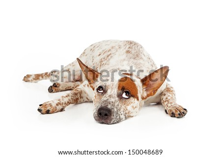 Queensland Heeler mixed breed dog laying against a white backdrop and rolling his eyes up with a frustrated expression - stock photo