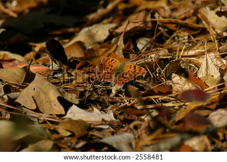 Question Mark Butterfly - stock photo