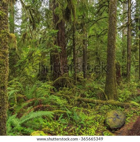 Quinault Rainforest, Olympic National Park, Washington state, USA - stock photo