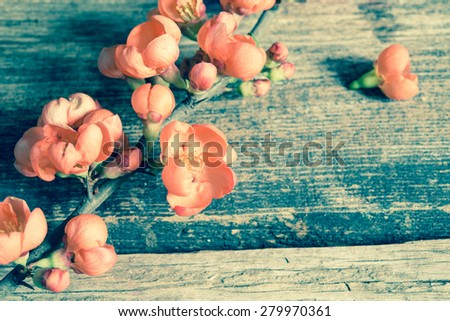 quince blossoming branch on a wooden background/retro filter - stock photo