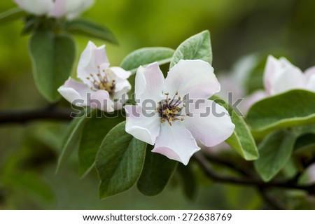 Quince Flower - stock photo