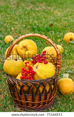 quince in a basket on the grass among fallen fruits