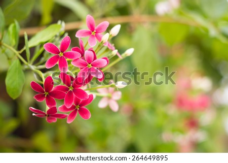 Quisqualis indica also known as the Chinese honeysuckle, Rangoon Creeper, and Combretum indicum - stock photo