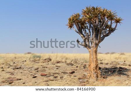 Quiver tree (Aloe dichotoma) in the Namib desert landscape. Namibia - stock photo