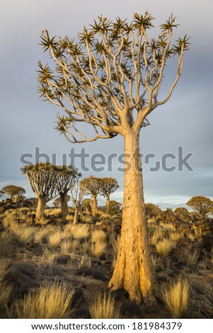 Quiver tree Aloe dichotoma, in warm evening light, Namibia, Southern Africa - stock photo