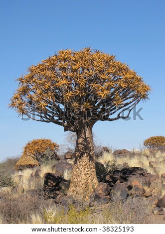 Quiver tree (also known as Kokerboom) in Namibia - stock photo