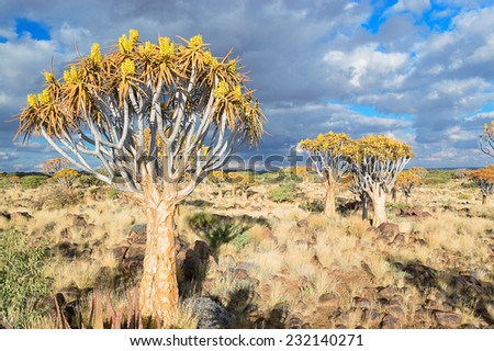 Quiver tree forest, kokerbooms in Namibia, Africa, african landscape  - stock photo