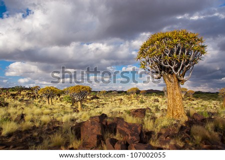 Quiver tree forest. Kokerbooms in Namibia, Africa. African nature - stock photo