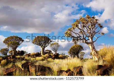 Quiver tree forest landscape. Kokerbooms in Namibia, Africa. African nature - stock photo