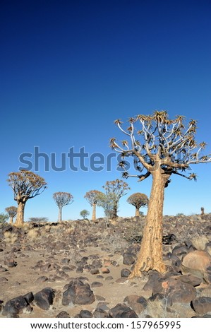 quiver tree forest,Namibia - stock photo