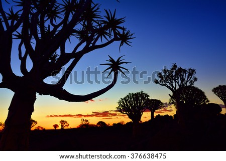 Quiver Tree Forest outside of Keetmanshoop, Namibia at night start. Magical silhouette against mystical sunset