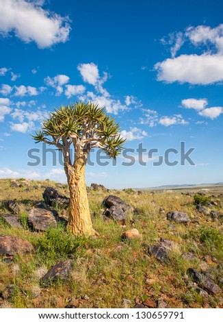 Quiver Tree overlooking the dry Northern Cape region of South Africa.