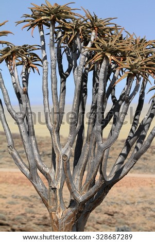 Quiver trees in Namibia - stock photo