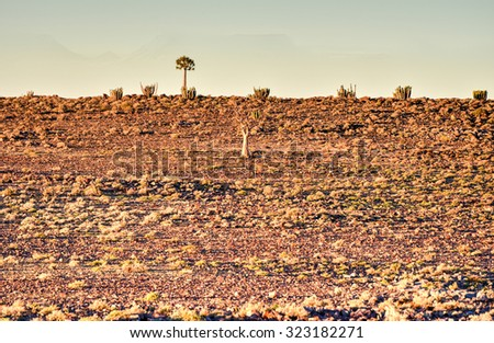 Quiver Trees surrounding the Fish River Canyon, Namibia. - stock photo