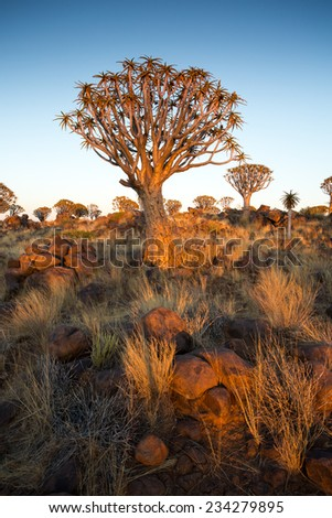 Quivertree Forest at Sunset. Keetmanshoop, Namibia