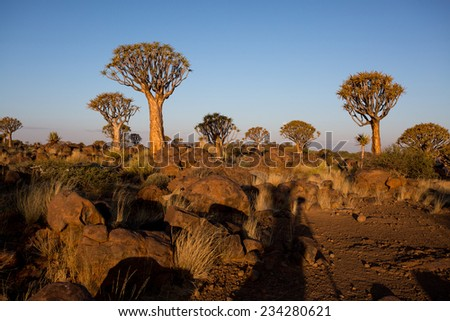 Quivertree Forest at Sunset, Keetmanshoop, Namibia  - stock photo