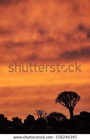 Quivertrees at sunset