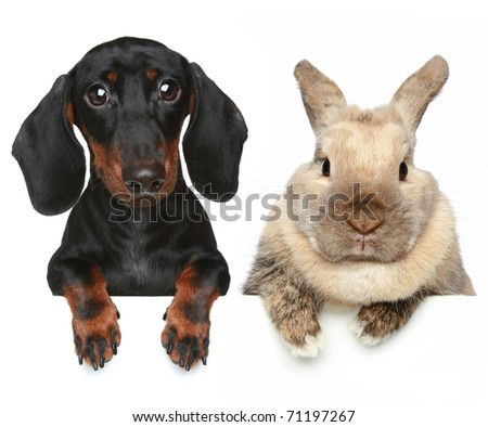 Rabbit and dachshund. Close-up portrait - stock photo
