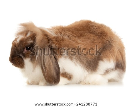 Rabbit Angora breed isolated on white background - stock photo