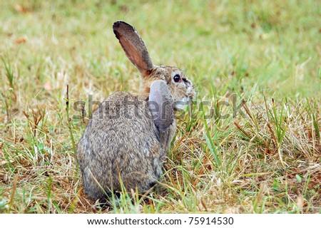 Rabbit at autumn grass on the farmland - stock photo