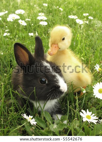Rabbit bunny and duckling best friends - stock photo