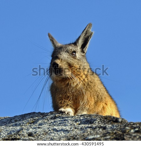 Rabbit enjoying the sun at the Incan ruins of Machu Picchu, Peru