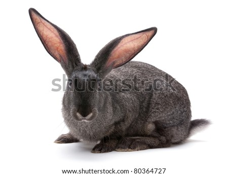 Rabbit farm animal closeup on white background