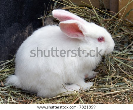 rabbit, hare,  white, alive, small, sits, herb, hay