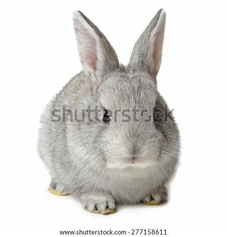 Rabbit isolated on white background - stock photo