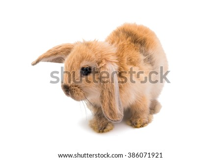 Rabbit Ram breed, red color, isolated on white background. - stock photo