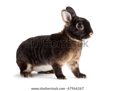 Rabbit Rex breed, otter color, isolated on white background.