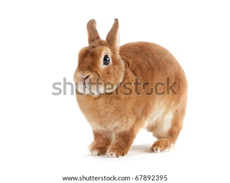 Rabbit Rex breed, red color, isolated on white background.