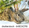 rabbit sit under bush on snow - stock photo