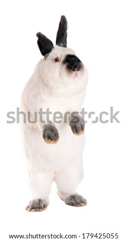 "Rabbit standing on hind legs. Purebred rabbit. Isolated on white background. Breed ""California white."" A series of images of different breeds of rabbits."