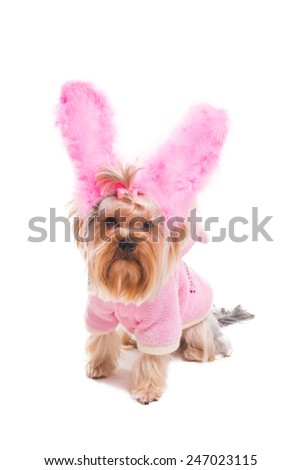 Rabbit style. Cute Yorkshire terrier in pink clothes and rabbit costume looking at camera while being isolated on white background