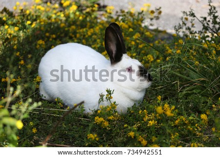 Rabbit white with black ears and nose sitting in green grass with yellow flowers - side view