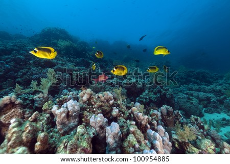 Raccoon butterflyfishes in the Red Sea - stock photo
