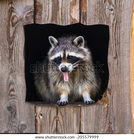Raccoon closeup with tongue out - stock photo