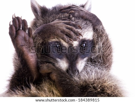 Raccoon covering face with hands and foot in the air isolated on white background