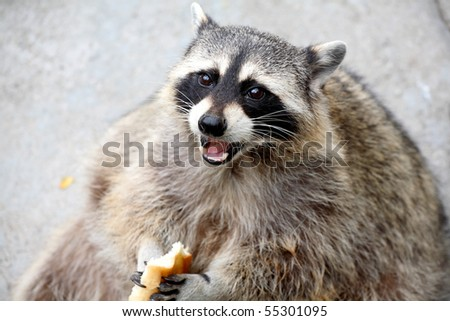 raccoon eats bread piece. Zoo. - stock photo
