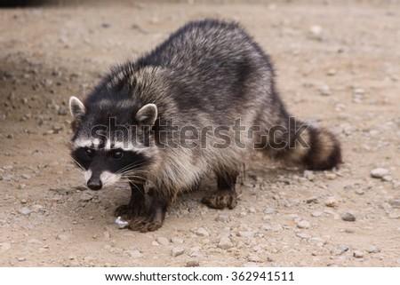 Raccoon Front Shot - stock photo