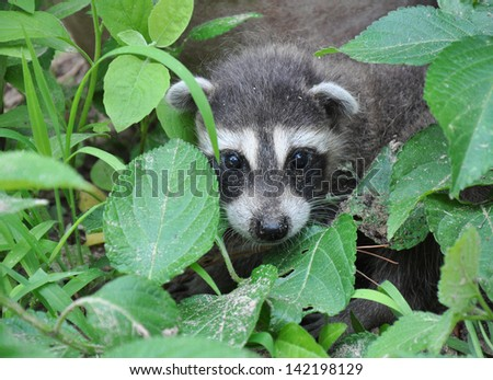 Raccoon Hiding in Plants - stock photo