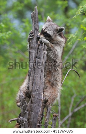 Raccoon in a tree looking for food