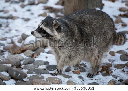 Raccoon (lat. Procyon lotor) in winter on snow - stock photo