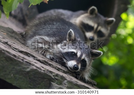 Raccoon laying down with another raccoon in background - stock photo