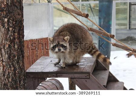 Raccoon looks with curiosity - stock photo